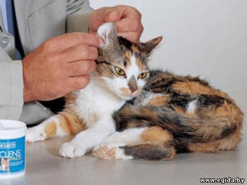 Острое воспаление ушей встречается у кошек редко, но если это произошло, то ушной канал краснеет, появляется боль в...